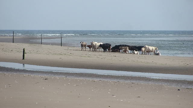 Cattle, Tentsmuir Sands