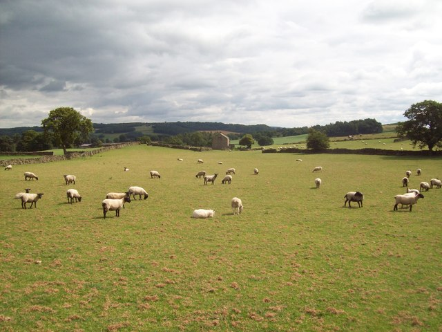 Field of Sheep near the Black Nursery Plantation
