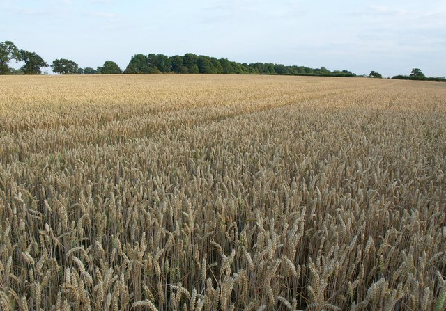 Wheat near Pikeshaw Wood