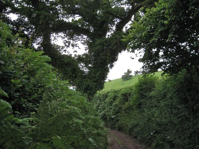 Green lane beneath an oak
