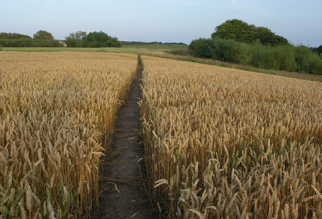 Path through wheat, Goldsborough