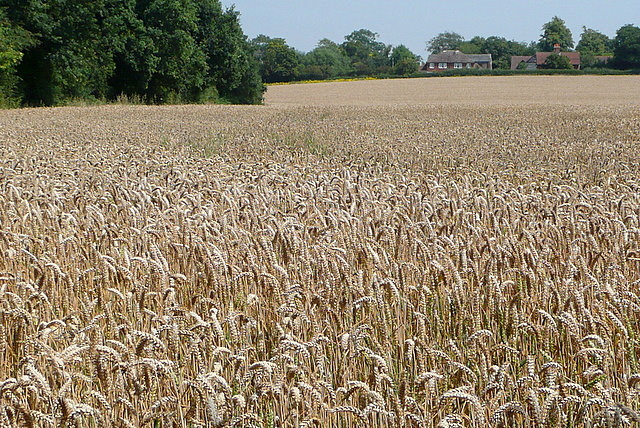 Wheat near Stanlake Bridge