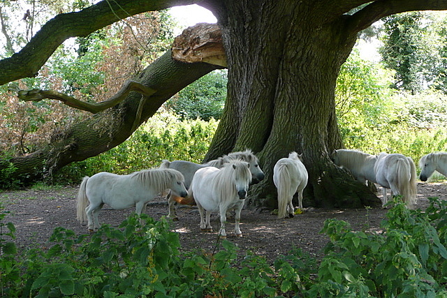 Ponies near Stanlake Bridge