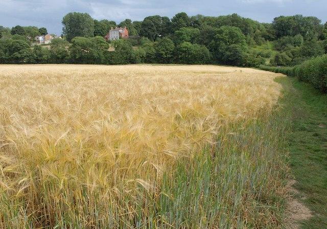 Barley, Barwick in Elmet