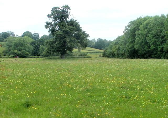Trees in a field, Cilycwm Road, Llandovery