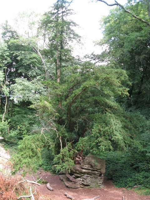 Yew tree growing from rocky outcrop