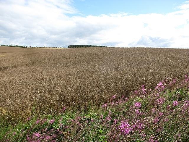 Oilseed rape near Reston