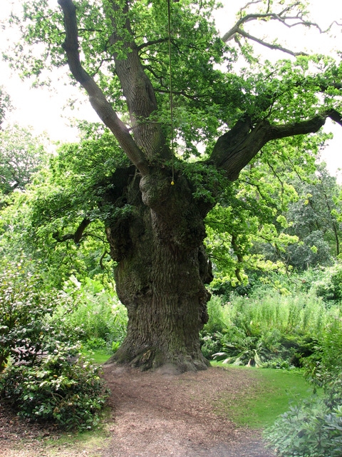 King Oak in Fairhaven Water Garden, South Walsham