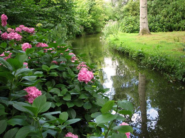 Hydrangea in Fairhaven Water Garden, South Walsham