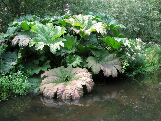 Gunnera in Fairhaven Water Garden, South Walsham