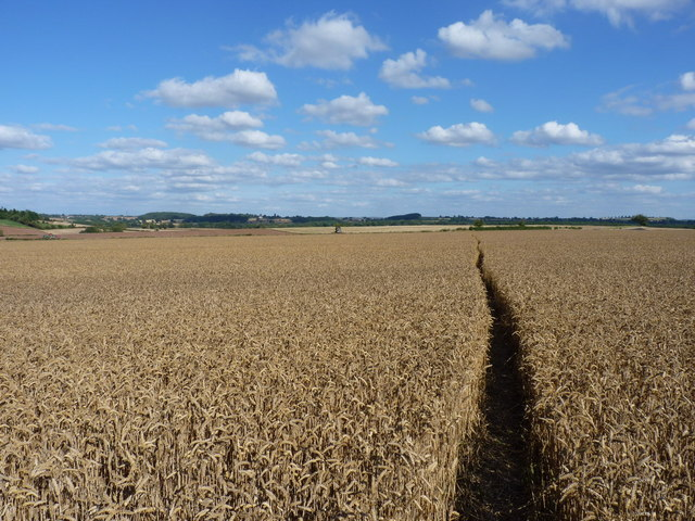 A footpath through ripe wheat, near Ackleton
