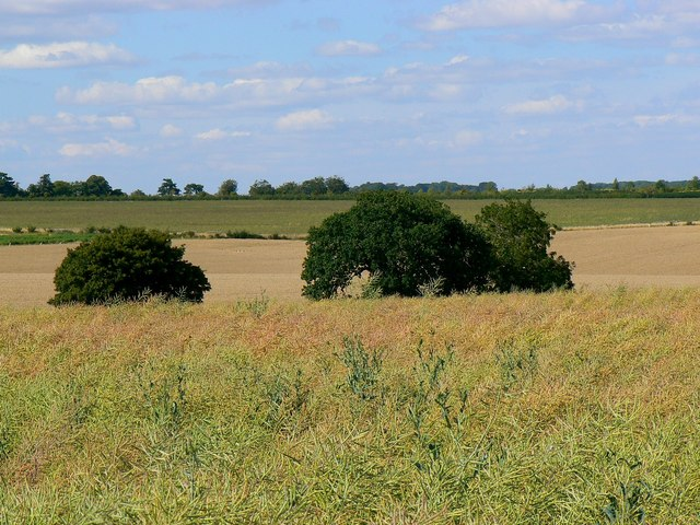 Oilseed rape and bushes, off Ermin Street, Shefford Woodlands