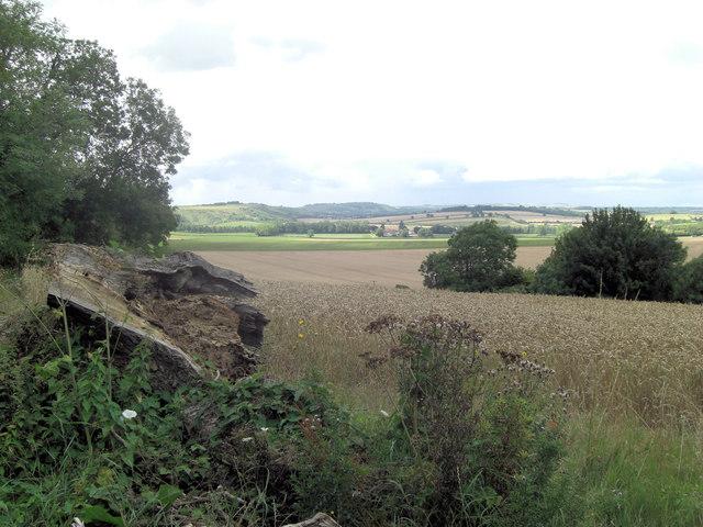 Standing wheat beside Rectory Lane