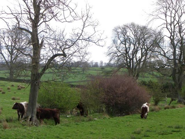 Cattle near Ilton