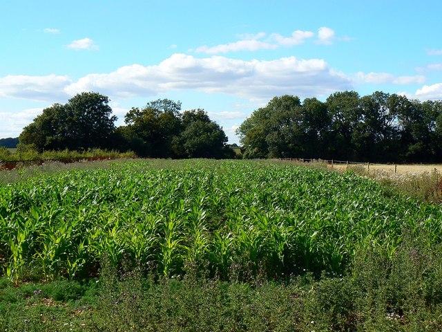 Maize near Wickfield Farm, Shefford Woodlands