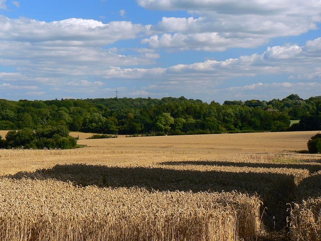 A wheatfield near Wickfield Farm, Shefford Woodlands