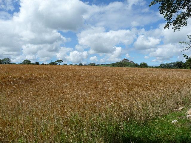 Cornfield near Treffgarne village