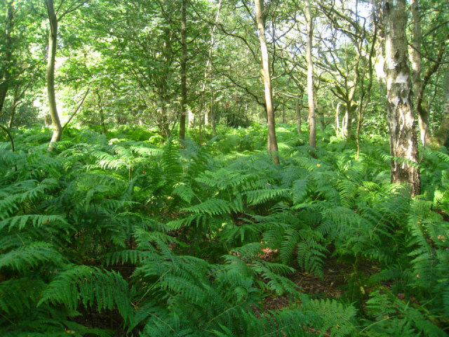 Bank of ferns - Bucklebury Common
