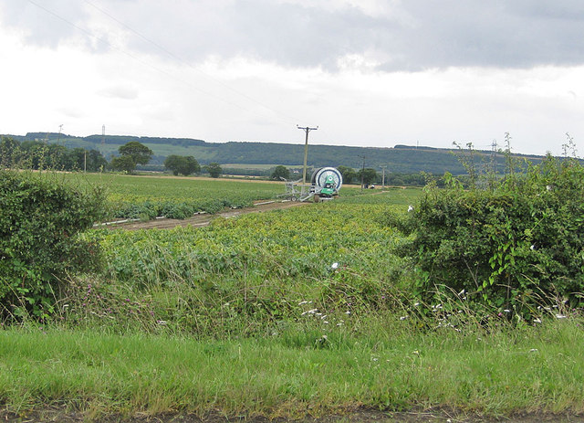 Potato crop field