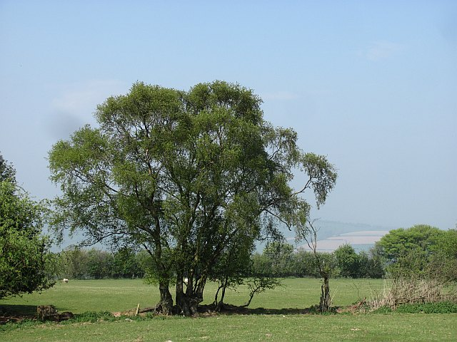 Grown out hedge, Abdon