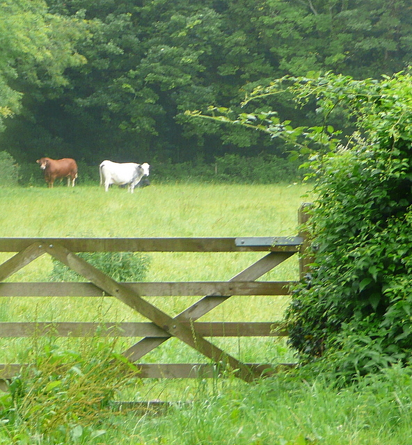 Cattle at Treloweth