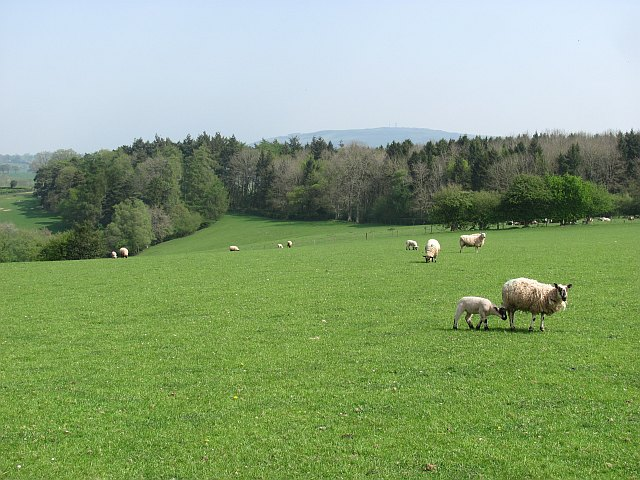 Sheep, Sutton Hill