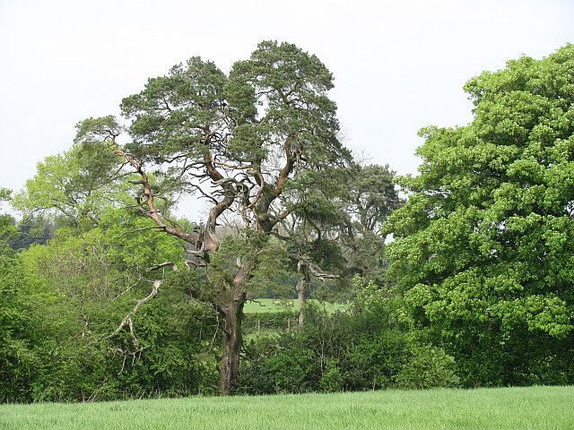 Scots Pines, Sutton Hill