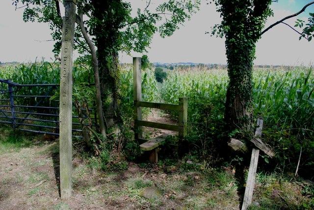 Footpath through Sweetcorn