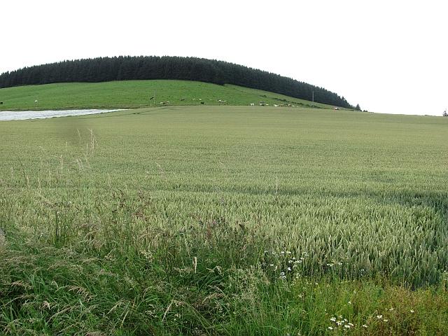 Wheat field by Auchenblae