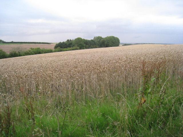 Wheatfield near Beelsby