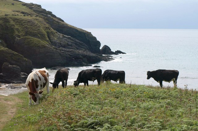 Cattle above Soar Mill Cove