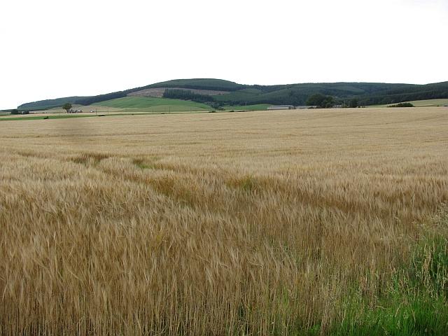 Barley, Strathfinella Hill