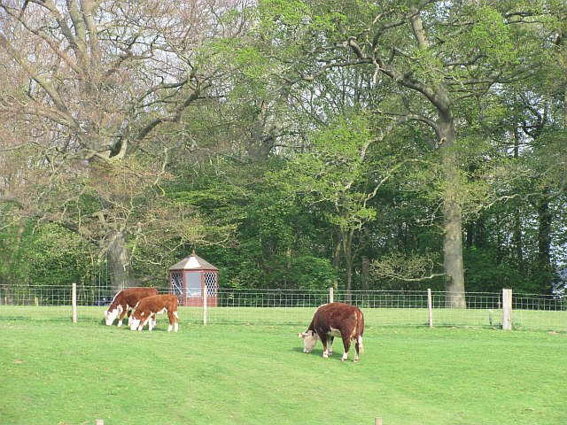 Grazing Herefords