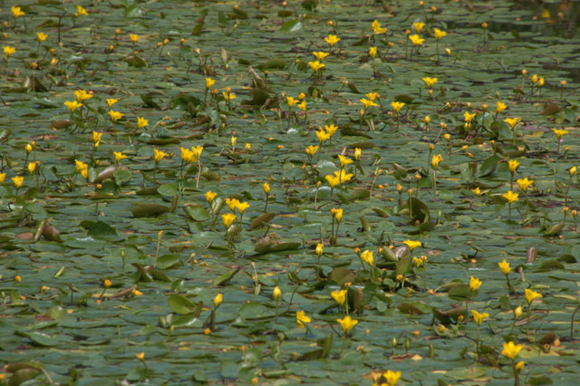 Yellow water-lily (Nuphar lutea), Royal Botanic Gardens Edinburgh