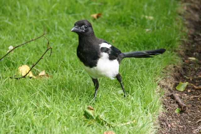 Magpie (Pica pica), Royal Botanic Gardens Edinburgh
