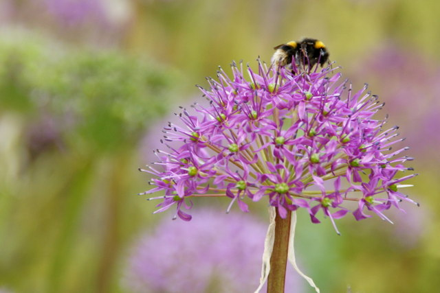 Bumblebee in Royal Botanic Gardens Edinburgh