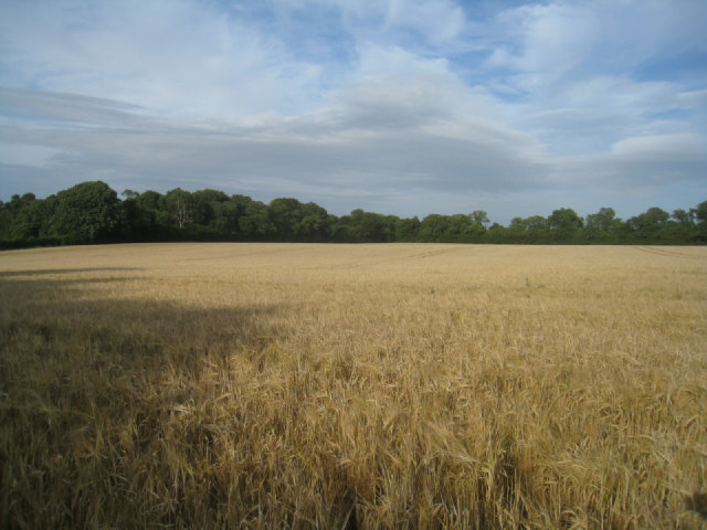 Wheat crop - Hansfords Field