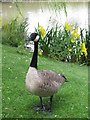 ST6277 : Canada Goose at pond on Frenchay campus, UWE by Jez McNeill