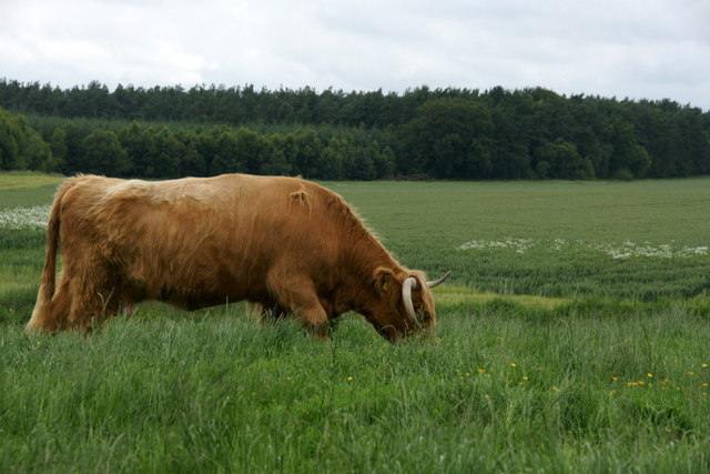 Highland Cow on Burnside Farm, Stanley