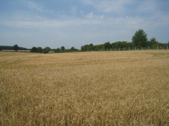 Wheat field by the railway line