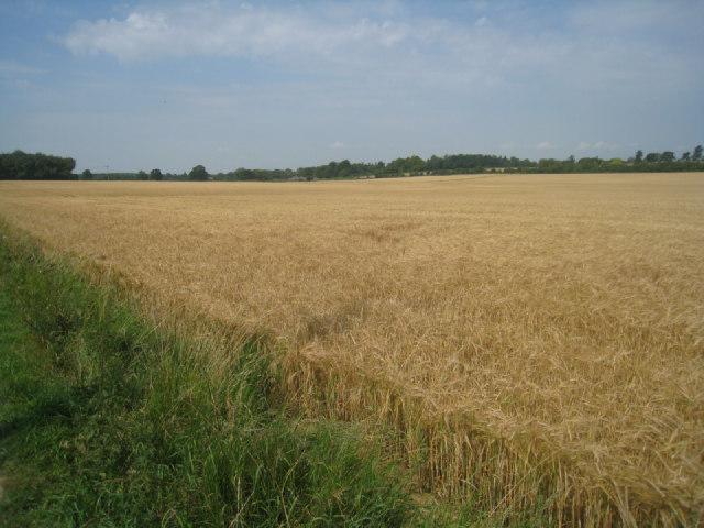 Wheat field near Pardown