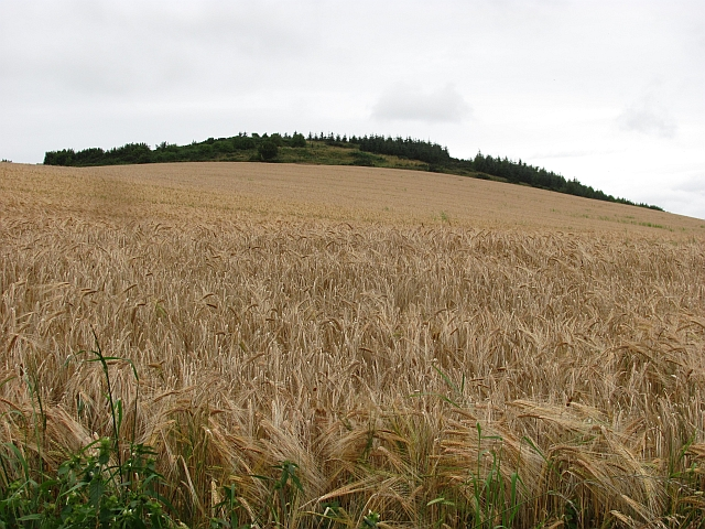 Barley, Golden Hill