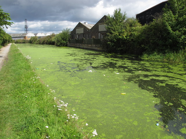 Duckweed on the Grand Union Canal