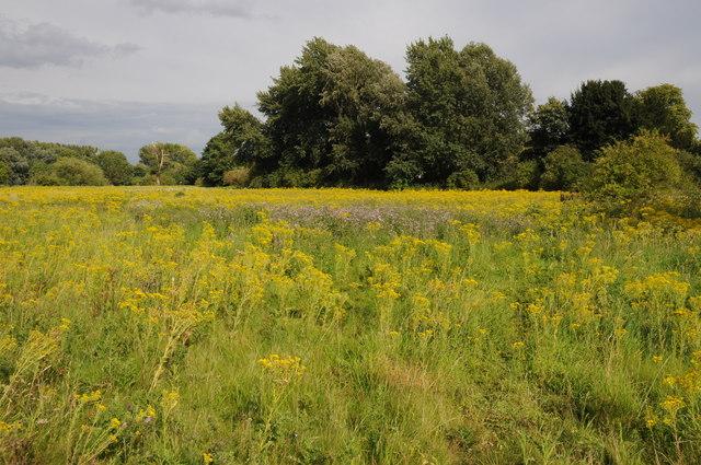 Infestion of ragwort near Windsor