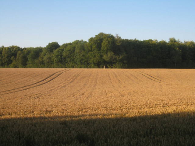 Wheat & Pardown Copse