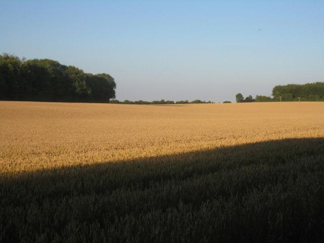 Wheat field by Pardown Copse
