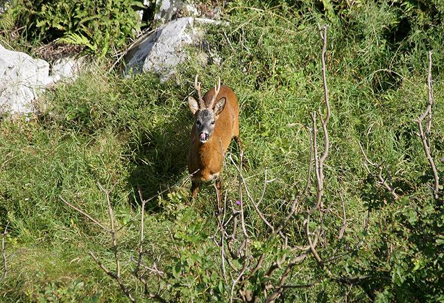 A roe deer in Dowlaw Dean