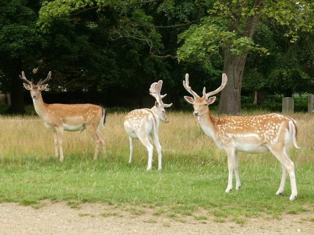 Deer in Richmond Park (4)