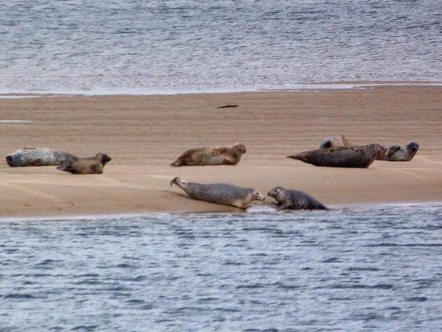 Seals at Loch Fleet