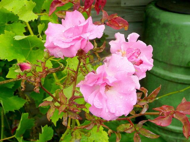 Rambling Rose after a summer shower